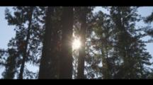 Sunlight Shines Through A Redwood Grove, With A Blue Sky Beyond