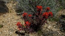 Indian Paintbrush Growing In Sandy Rocky Soils Of Desert Near Rim Of Grand Canyon.