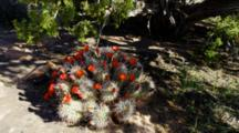 Prickly Pear Cactus Blossoms And Juniper Tree Growing In Sandstone, Grand Canyon, Arizona.