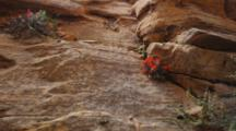 A Rat (At Top Of Right Rock Ridge) Above Red Indian Paintbrush Flowers Makes A Dash Into A Lower Crevice. Red Sandstone Cliff, Zion National Park, Utah.