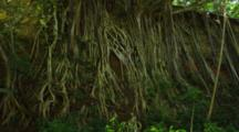 Shot Pans Up. Lush Shady Canopy And The Spindly Roots Of The Banyan Trees Growing Down A Cliff. Hawaii