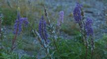 Lupine Blossoms Glisten With Morning Dew, Purple, Pink And Seed Pods Show With The Green Foliage.