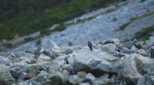 A Falcon Perched Upon A Talus Pile Takes Flight. New Zealand.