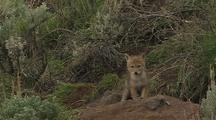 Coyote Pups Playing By Den