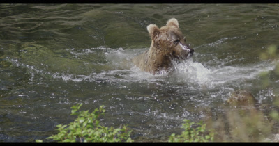 Costal Brown Bear, (Ursus arctic) Grizzly fishing salmon