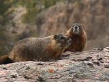 Yellow-Bellied Marmot Pair (Marmota Flaviventris) Scurry About On A Rock