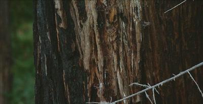 California Condor  (Gymnogyps californianus), Nest, up pan.