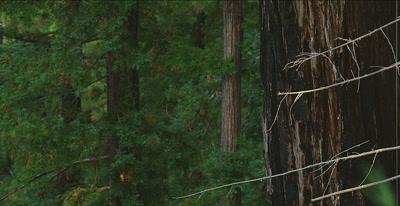 California Condor  (Gymnogyps californianus), Nest up pan.