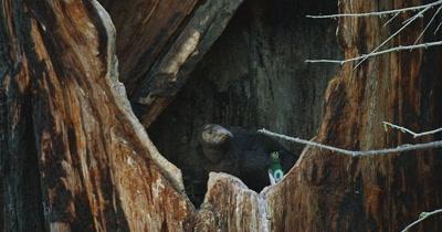 California Condor  (Gymnogyps californianus), Nest