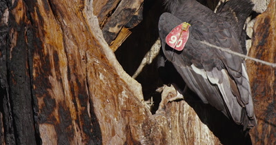 California Condor  (Gymnogyps californianus), Nest feeding
