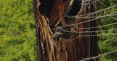 California Condor  (Gymnogyps californianus), Nest Month old baby