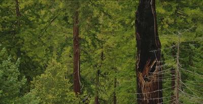 California Condor  (Gymnogyps californianus), Establishing clip
