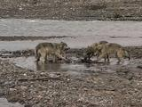 Five Wolves (Gray Wolf, Canis Lupus) Eat Near Water's Edge