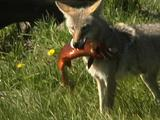 Coyote (Canis Latrans) Catches Three Cutthroat Trout (Oncorhynchus Clarki Bouvieri)