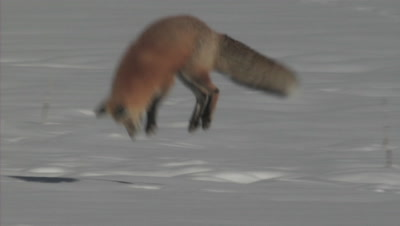 Stock Footage of Mammals Hunting