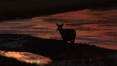A Female Elk Is Silhouetted At Sunrise Surrounded By Water That Is Reflecting The Bright Yellow, Orange And Red Colors Of The Early Morning Sky Which Is Dramatically Revealed As The Camera Pans Out.