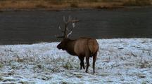 A Bull Elk, With Fresh Snow On His Antlers, Grazes By The River.