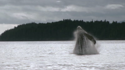 Breaching Whale Stock Footage