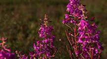 Alaskan Fireweed Blows In The Wind In A Small Meadow