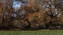 Oak Leaves Fall