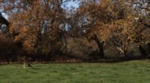 Deer Grazes As Oak Leaves Fall