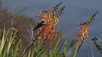 Hummingbird Feeds On Orange Flowers (Crocosmia?)