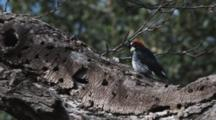Acorn Woodpecker Hunts On Tree Trunk