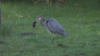 Great Blue Heron, Gopher In Mouth