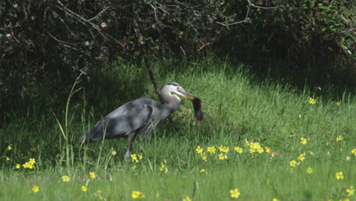 Great Blue Heron Hunts, Grabs, Swallows Gopher