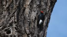 Acorn Woodpecker On Tree Trunk Stretches Wings