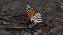 Monarch Butterflies Mating