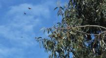 Monarch Butterflies Gather In Tree