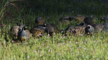 Flock Of Quail In Wildflowers
