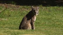 Bobcat Sits In Grass