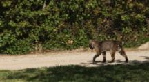 Bobcat (Male) Walks Carrying Gopher In Mouth