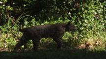 Male Bobcat Walks In Slow Motion