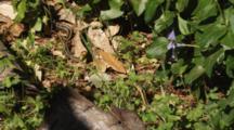 Two Garter Snakes On Forest Floor