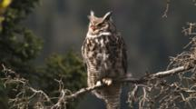 Great Horned Owl Perched On Tree Branch