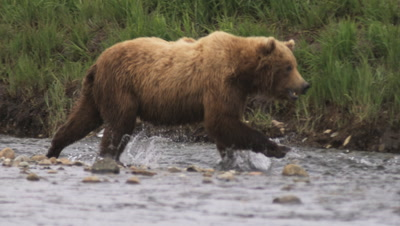 Grizzly Bear Fishing In Slow Motion, Catches Fish