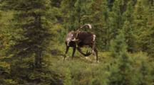 Male Caribou Scratches Foot With Large Antlers