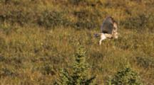 Short Eared Owl Perched In Tree, Takes Off Slow Motion