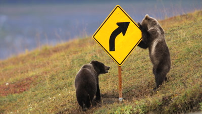 Grizzly Bear Cubs Play With Road Sign