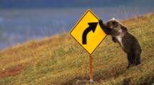 Grizzly Bear Cub Plays With Road Sign, Runs Away