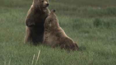 Grizzly Bears Fight