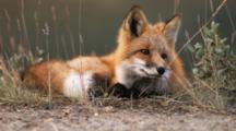 Red Fox Rests