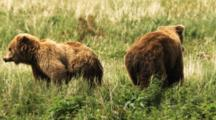 Grizzly Bears Mate In Grass, Separate