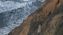 California Condor Soars Above Rocky Shore And Lands On Cliff