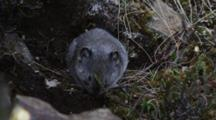 A Pika Feeds On The Tundra Plants, Then Runs For Cover.