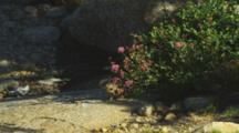 A Pika (Ochotona Princeps) Hides Under A Mountain Spiraea, Then Stands Up To Harvest Some Of The Flat Fluffy Pink Flowers And Runs For It's Den.
