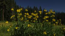 Field Of Coneflowers, Surrounded By Meadow And Forest.